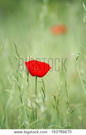 Unique lone red flower, thin and fragile, with delicate petals, in green field.