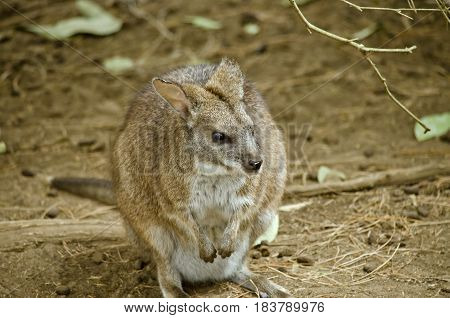 this is a close up of a parma wallaby