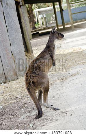the Kangaroo-Island kangaroo is standing on its hind legs