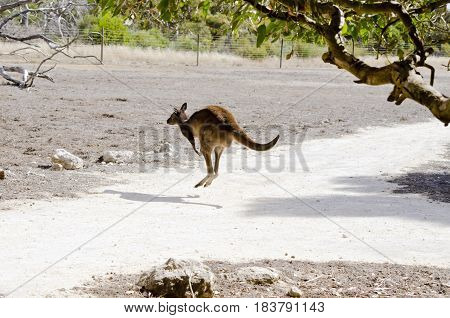 the Kangaroo-Island kangaroo is bounding away into a paddock