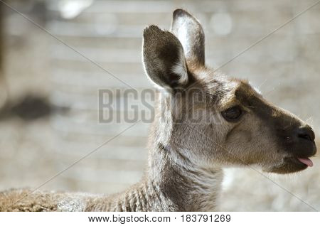this is a close up of a side view eastern grey kangaroo