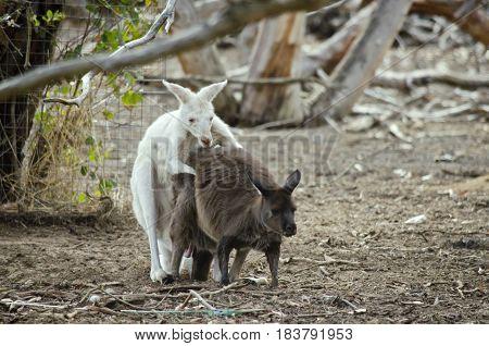 the albino eastern grey kangaroo is mating with the brown eastern grey kangaroo