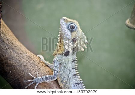 this is a close up of a boyds forest lizard