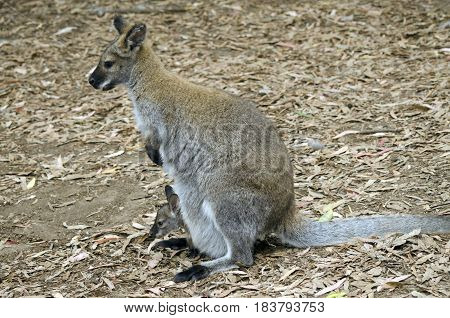 the bennetts red necked wallaby has a joey in her pouch