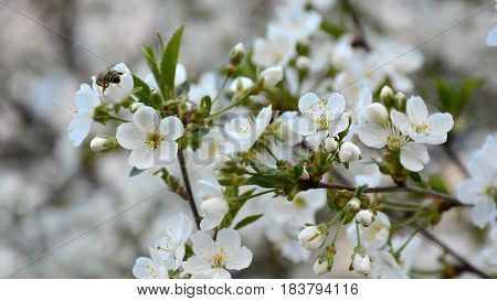 Bee Flying Over The Blooming Cherry Tree In The Spring Garden