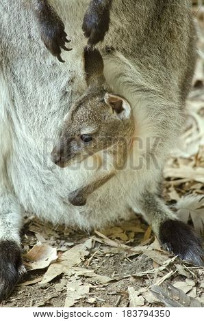 this is a close up of a joey bennetts red necked wallaby poster