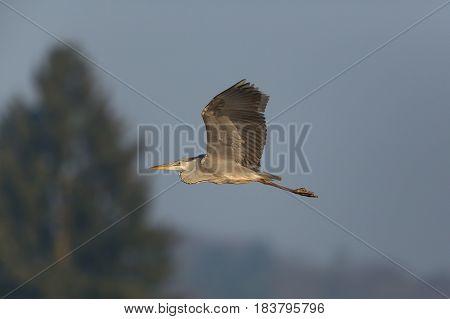 Gray Heron (ardea Cinerea) Flying With Tree And Blue Sky
