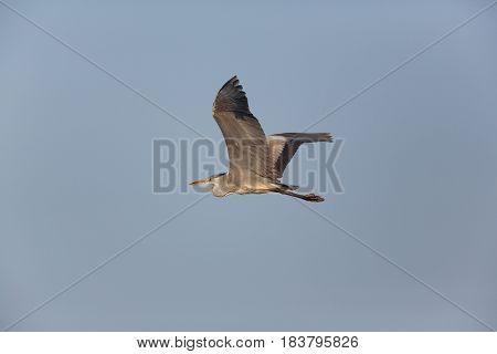 Gray Heron (ardea Cinerea) Flying In Blue Sky