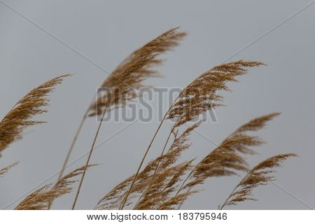 Natural ears of reed grass in the wind