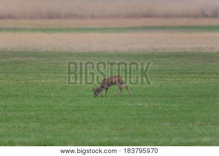 Young Roebuck (capreolus) Standing I And Grazing N Meadow