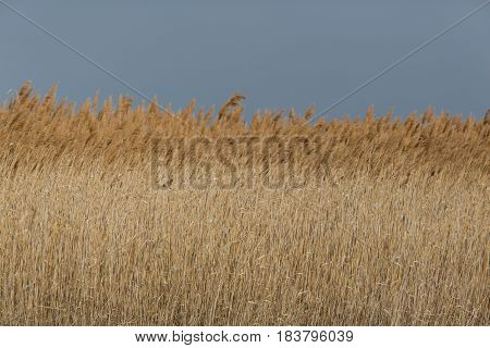 close view of natural reed belt with sky