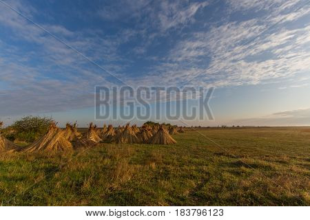 natural bundles of reed for drying with blue sky and clouds
