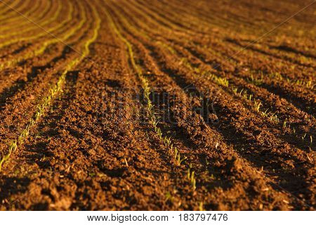 Freshly ploughed field with fresh crops. Large-scale production agribusiness food production concept and textured background with copy space.