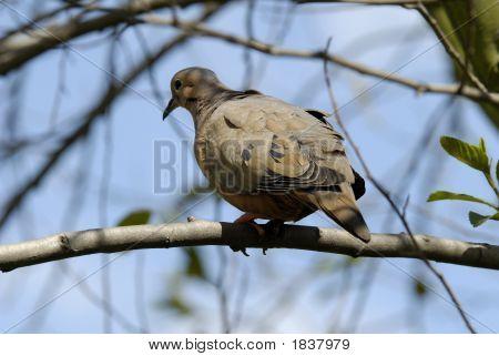 Brown Pigeon
