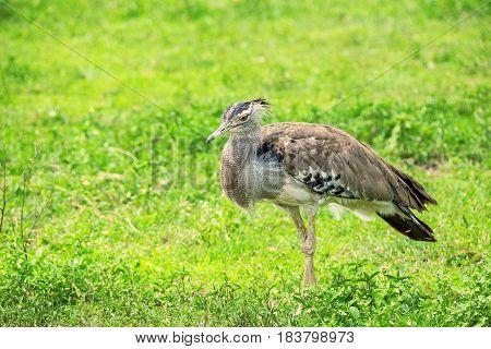 Kori bustard or Ardeotis kori the largest flying bird