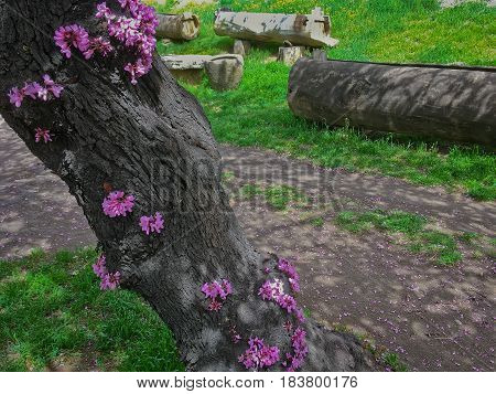 The trunk of the tree Cercis with blooming flowers in spring filmed on a Sunny day