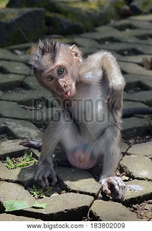 A cub of a gray macaque sitting on the road and scratching his back