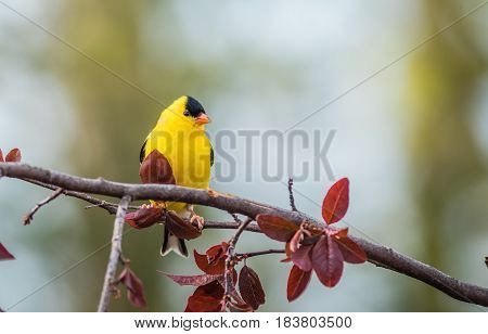 American Goldfinch (Spinus Tristis) male perched on plum tree branch