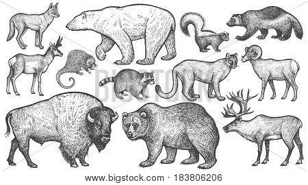 Animals of North America big set. Polar bear coyote puma skunk wolverine horned antelope raccoon porcupine reindeer steppe ram bison grizzly bear. Vector illustration art. Vintage engraving