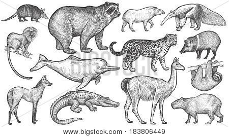 Animals of South America big set. Spectacled bear battleship tamarin wolf river dolphin lama jaguar anteater peccary sloth tapir capybara caiman. Vector illustration art. Vintage engraving
