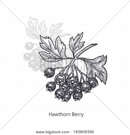 Hawthorn Berry. Medical herbs and plants Isolated on white background series. Vector illustration. Art sketch. Hand drawing object of nature. Vintage engraving style. Black and white.