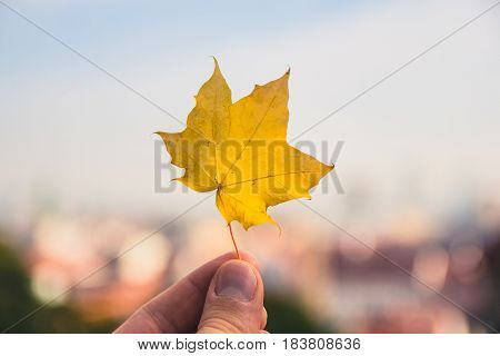 Fallen Maple Tree Leaf Held Up With The City Of Bratislava Blurred In The Background