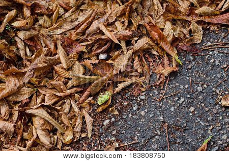 Fallen chestnut autumn leaves on background of gray asphalt road