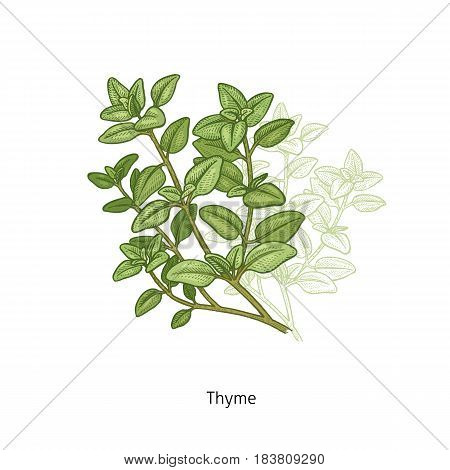 Thyme. Medical herbs and plants Isolated green on white background series. Vector illustration. Art sketch. Hand drawing object of nature. Vintage engraving style.