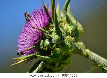Milk thistle flower with insects and green beetles in mating