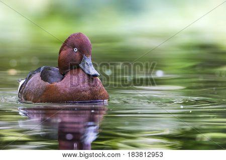 Moretta tabaccata o Moretta tabacca, uccello anseriforme appartenente alla famiglia degli Anatidi.