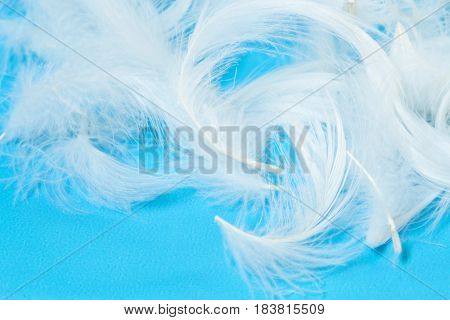 The white feathers close up on blue background