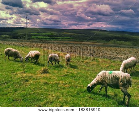 Photo of a flock of sheep in nature.