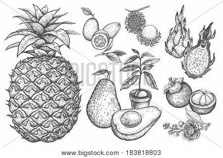 Exotic fruit kumquat pineapple dragonfruit rambutan mangosteen cherimoya avocado. Black and white illustration art. Vector hand drawing isolated on white background. Style vintage engraving.