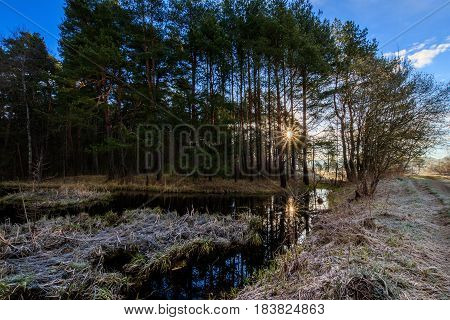 Swamp And Pine Forest With Frost-covered Grass In The Spring.