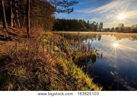Landscape of pond in a fog and pine forest with reed in the foreground in the spring morning. Sunrise.