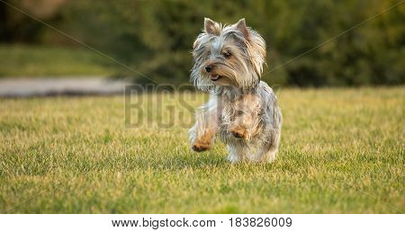 Yorkshire Terrier Puppy Running on the Lawn