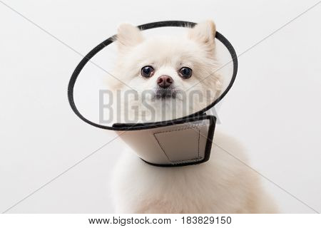 White Pomeranian wearing protective collar