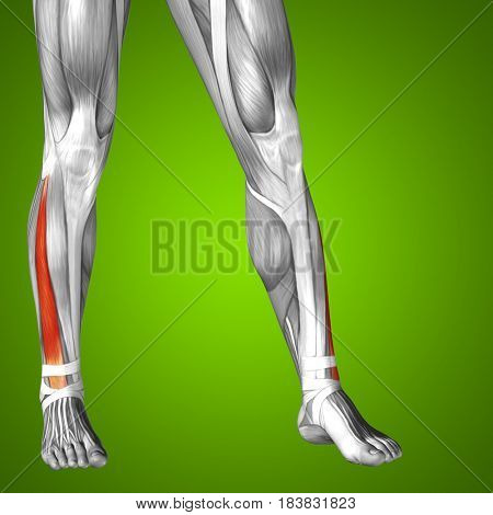 Concept or conceptual 3D illustration human lower leg anatomy or anatomical and muscle on green background