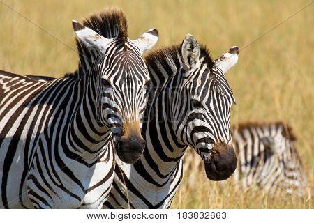 Two plains zebras on the savanna in Masai Mara National Park, Kenya