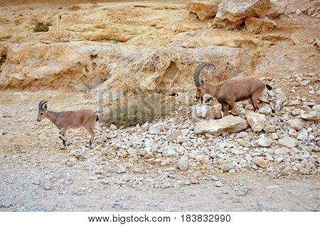 Nubian Ibex. Ramon crater Negev Desert Israel.