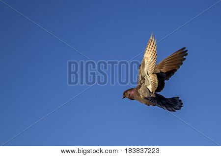 dove flying on a background of blue sky