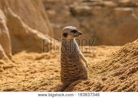 Meerkat standing looking at the horizon on guard curious gesture, with Warm colors and sunlight, suricate, Suricata, suricatta