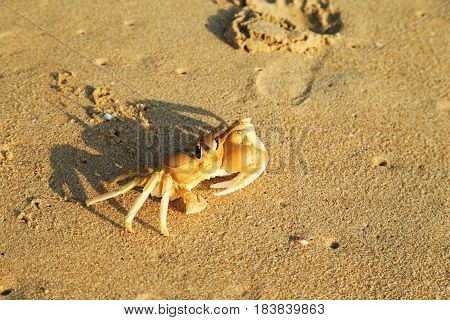 Crab on the sandy beach of the Indian Ocean.