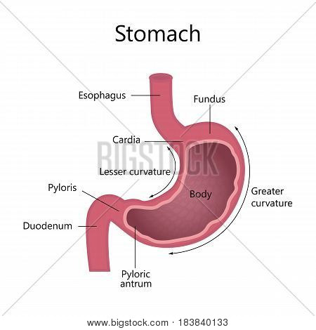 Anatomy of the human stomach. Internal structure. Vector illustration flat design