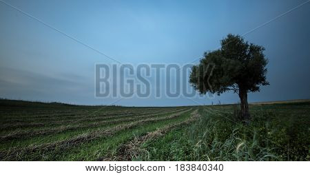 lonely olive tree on a wheat field with green plants and with moving clouds. Long Exposure photo.