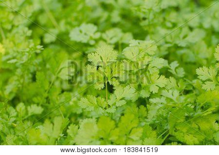 coriander growing in the garden. Coriander is loaded with antioxidants