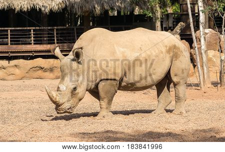 Rhinoceros also known as rhino, Lonely specimen in a bio park
