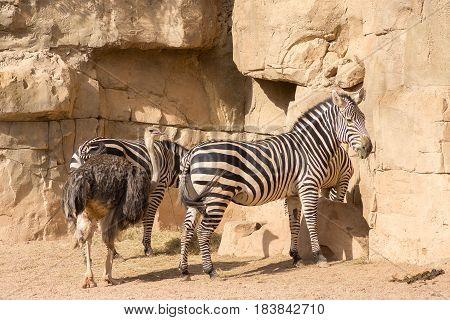 Zebra and ostrich, group of animals of the African savanna