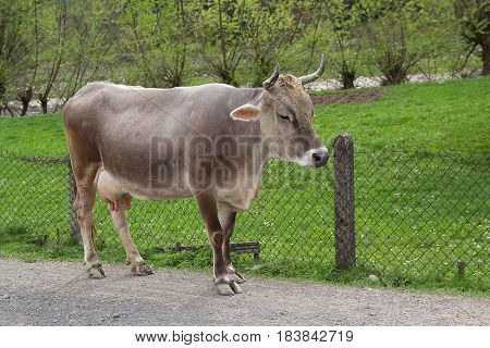 Gray cow costs near a farmhouse. Animals