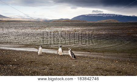 Penguins in Tierra del Fuego Ushuaia Argentina